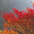 朝光の紅葉