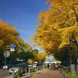 横浜大通りの銀杏並木