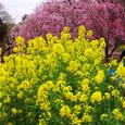菜の花と枝垂れ桜