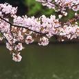県立三ツ池公園桜