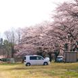 満開の桜と愛車