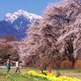 満開の桜と甲斐駒ケ岳