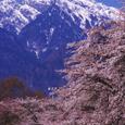 甲斐駒ケ岳とソメイヨシノ