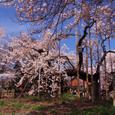 山高伸代桜