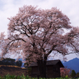 北杜市武川町の桜