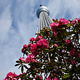 石楠花とスカイツリー